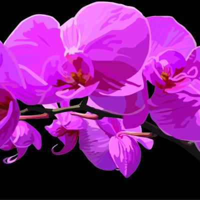 orchid black