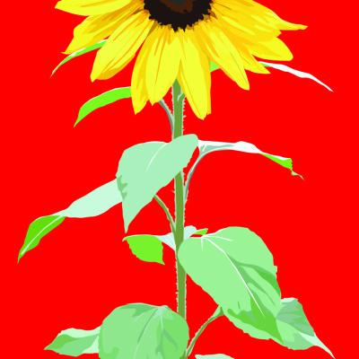sunflower tall red