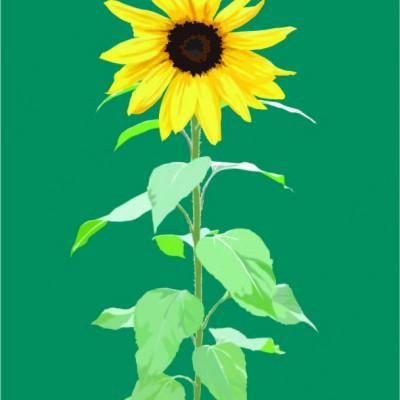Sunflower on blue/green
